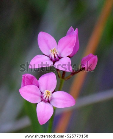 Beautiful pink flowers rare west australian stock photo download beautiful pink flowers of rare west australian wildflower boronia ovata species blooming in early spring in mightylinksfo