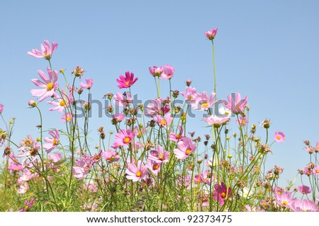 Beautiful pink flowers on sky - stock photo