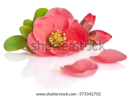 beautiful pink flowers with buds and petals on white background - stock photo