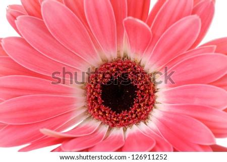 beautiful pink gerbera close up - stock photo