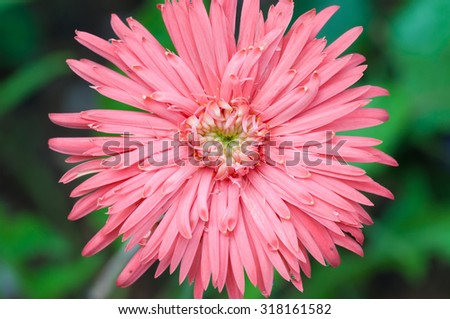 Beautiful pink gerbera daisy close up - stock photo