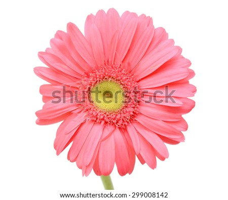 beautiful Pink gerbera flower