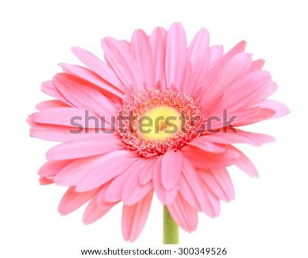 beautiful pink gerbera flower - stock photo