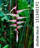 Beautiful pink heliconia flower growing in tropical rain forest. Thailand - stock photo