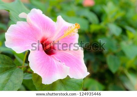Beautiful Pink Hibiscus flower in the garden - stock photo