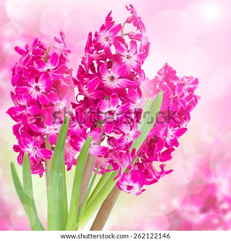 Beautiful Pink hyacinth flowers on abstract background - stock photo