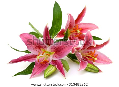 beautiful pink lily flower isolated on white background - stock photo