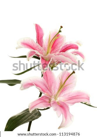 beautiful pink lily, isolated on white - stock photo