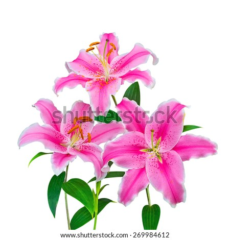 Beautiful pink lily, isolated on white background - stock photo