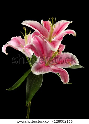 beautiful pink lily, on black background - stock photo