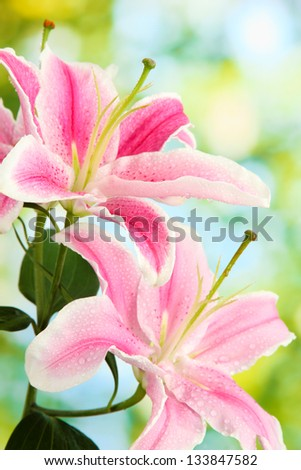 beautiful pink lily, on green background - stock photo