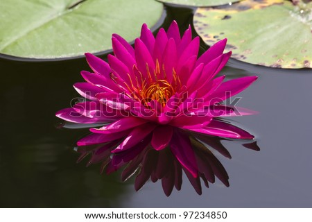 Beautiful pink lotus flower blossoming in the natural pond. - stock photo