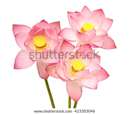 Beautiful pink lotus flower bouquet isolated on white background