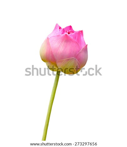 Beautiful  pink  Lotus flower on white background - stock photo