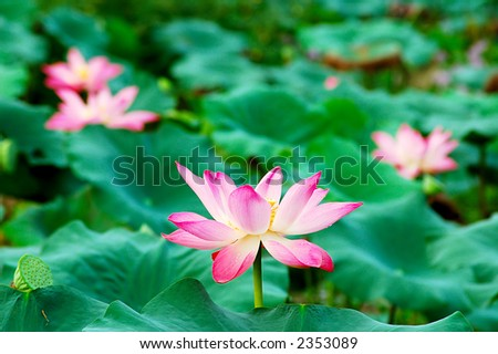 Beautiful pink lotus flowers, seeds and leaves in a pond. Lotus is also a symbol of Buddhism. - stock photo