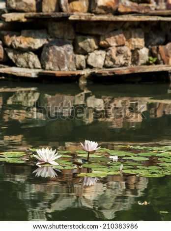 Beautiful Pink Lotus, water plant with reflection in a pond  - stock photo
