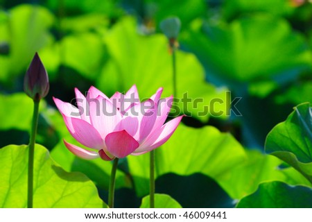 beautiful pink lotus with background of green leaf - stock photo