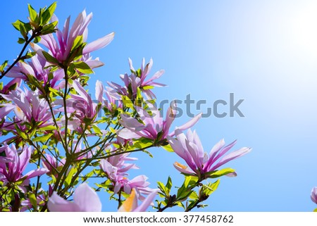 Beautiful Pink Magnolia Flowers on the Blue Sky Background. Spring Floral Image - stock photo