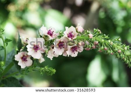 Beautiful pink mullein (Verbascum) in bloom. - stock photo