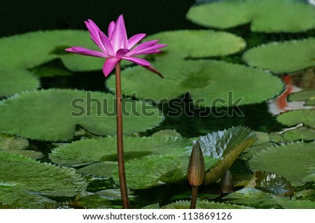 Beautiful pink night blooming water lily floating on a pond.