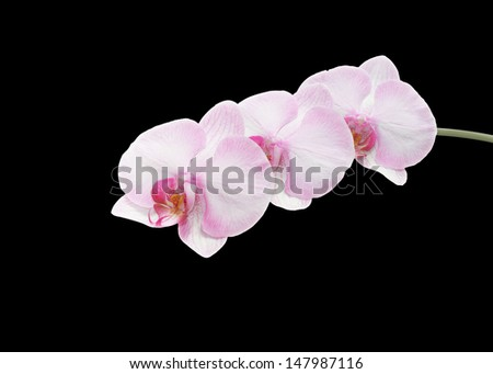 Beautiful pink orchid branch isolated on black  background