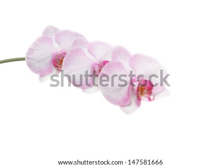 Beautiful pink orchid branch isolated on white background