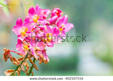 Beautiful pink orchid in garden.