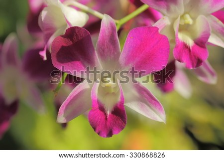 Beautiful pink Orchid in Thailand , indigenous flora of tropically beautiful orchid,naturally existing in Thailand.