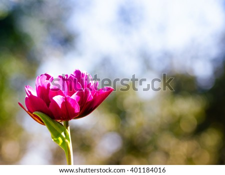 Beautiful pink parrot tulip on blurry background. Shallow depth of field. - stock photo