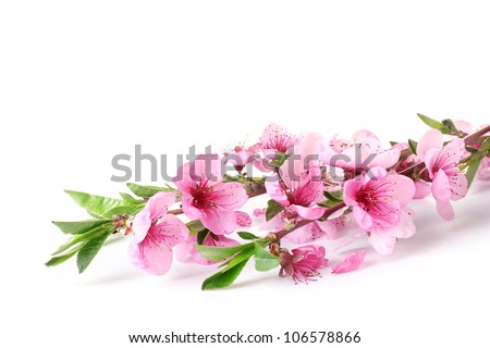 beautiful pink peach blossom isolated on white - stock photo