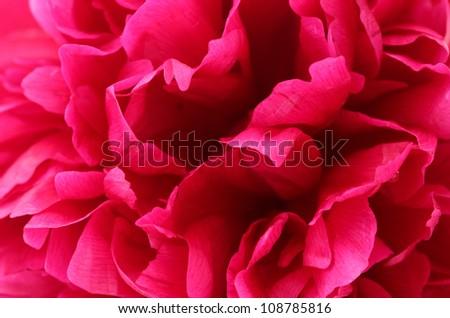 beautiful pink peony close up - stock photo