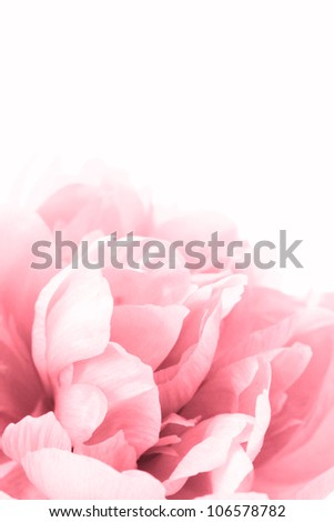 beautiful pink peony close up isolated on white - stock photo