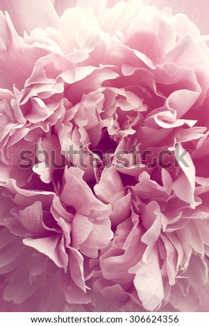 Beautiful pink peony flower close up - stock photo