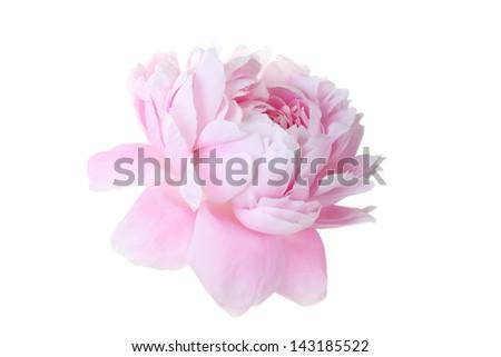 Beautiful pink peony on a white background - stock photo