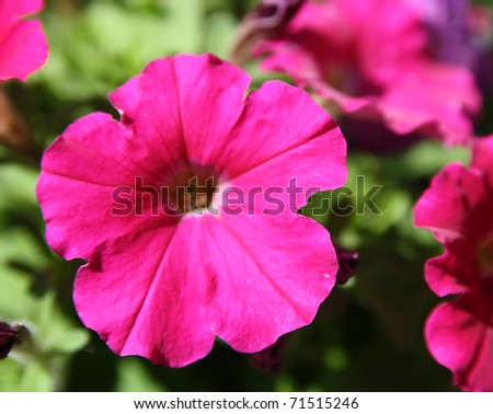 beautiful pink petunia - stock photo