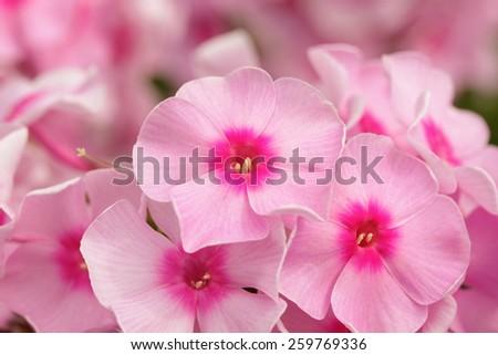 Beautiful pink phlox as  background - stock photo