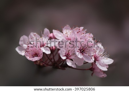Beautiful Pink Plum Blossom on Soft Bokeh Background - stock photo
