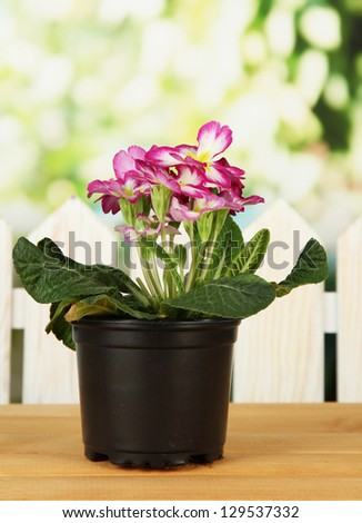 Beautiful pink primula in flowerpot, on wooden table, on green background