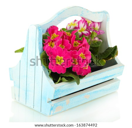 Beautiful pink primulas in wooden basket, isolated on white  - stock photo