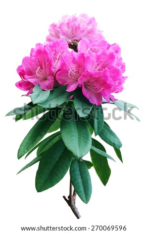 Beautiful pink Rhododendron - stock photo