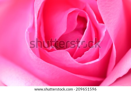 beautiful pink rose as background