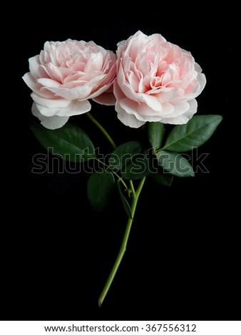 Beautiful pink rose, English  rose in the garden. - stock photo