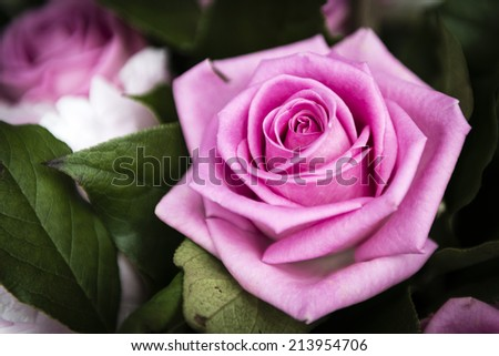 Beautiful pink Rose flower in the garden, the perfect gift for all occasions. - stock photo