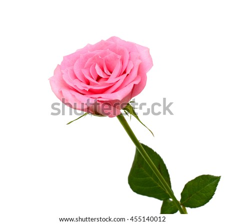 beautiful pink rose flower isolated on white background