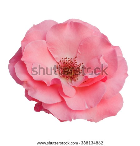 beautiful pink rose flower isolated on white background,way in paths - stock photo