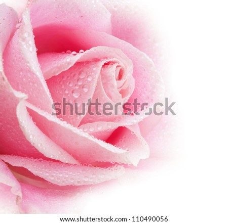 Beautiful pink rose flower with drops.Shallow focus - stock photo