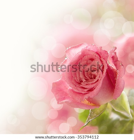 Beautiful pink rose with water drops, copy space, toned - stock photo