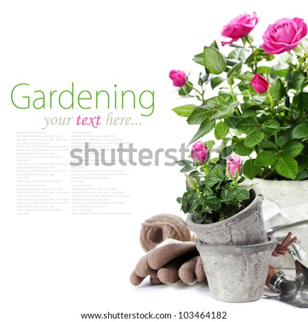 Beautiful pink roses in a flowerpots and garden tools  isolated on white (with easy removable text) - stock photo