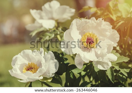 Beautiful pink roses in summer garden - stock photo
