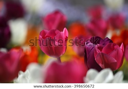 Beautiful pink tulip on soft bokeh background  - stock photo